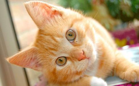 gato leon
