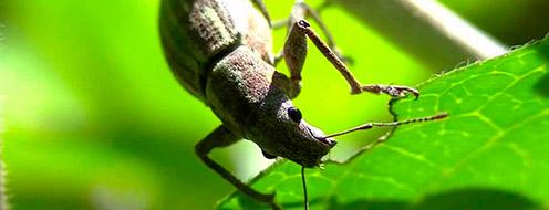 insectos masticador