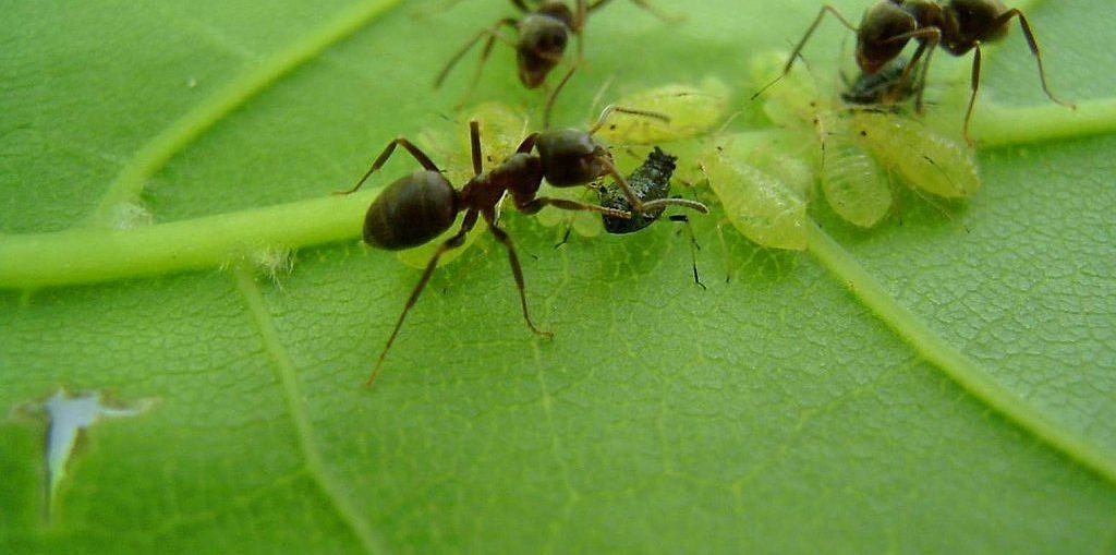 hormigas hoja