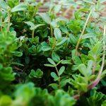 Hierbas medicinales - Cultivo y cuidados